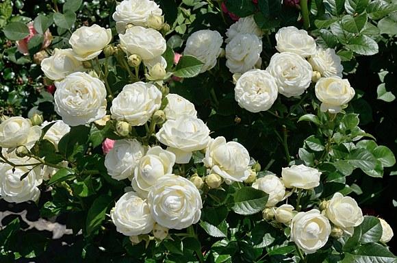 Artemis сорт розы фото Минск купить саженцы питомник