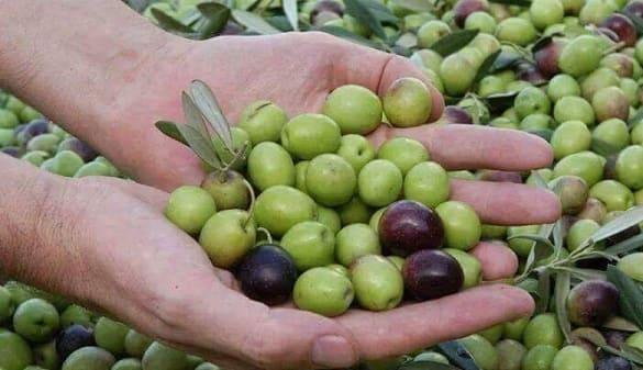 زراعة السويداء: 9764 طنا تقديرات إنتاج الزيتون للموسم الحالي