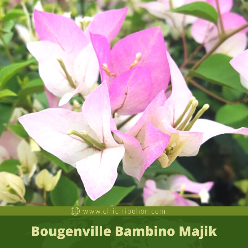 Bougenville Bambino Majik