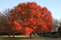 A bright red Chinese Pistache tree in a green field.
