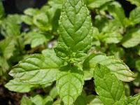 9 Cara Jitu Budidaya Tanaman Stevia yang Mudah dan Menambah Nilai Ekonomi