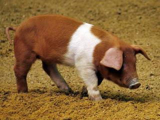 Danish Protest Pig Facts, Weight, Height, Origin, History