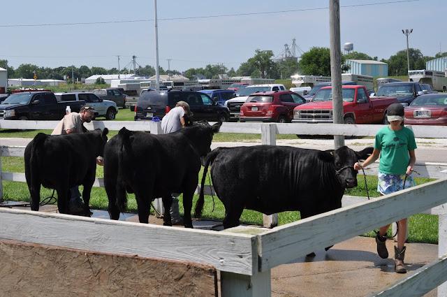 How Do We Prep Our Calves for the County Fair
