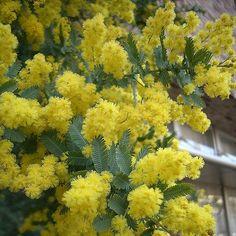 Acacia%2Bbaileyana.jpg
