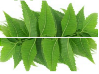 Benefits of Neem for hair, skin and health How to use neem to treat leprosy
