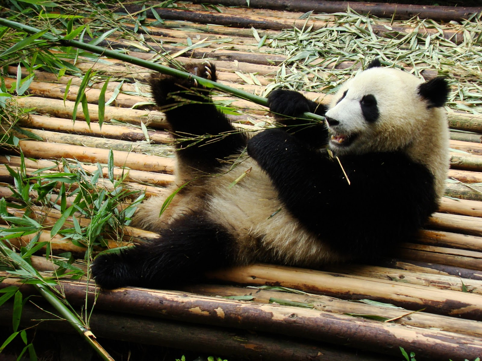 Ames' Adventures: Panda Bears