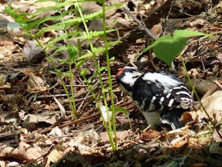 Picoides villosus -  Pic chevelu
