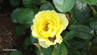 Walking on Sunshine floribunda rose - Elizabeth Park, West Hartford, CT