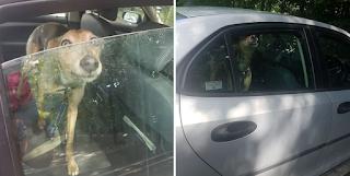 Σκύλος κλαίει και ουρλιάζει επειδή ο ιδιοκτήτης του τον κλείδωσε στο ΙΧ μέσα στον καύσωνα