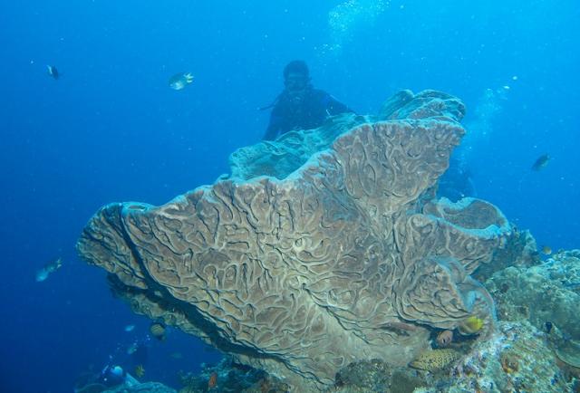 Rose Salvador Dali Sponge merupakan salah satu sponge Coral endemik di Taman Laut Olele
