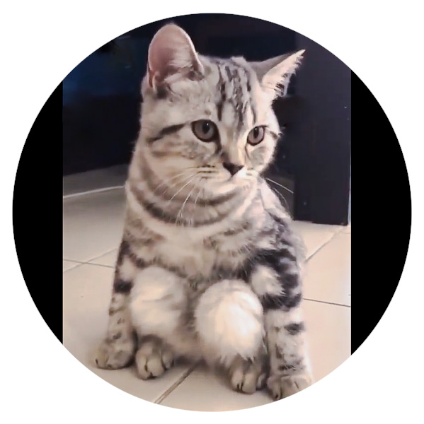 Domestic cat likes to sit on his haunches. Why?