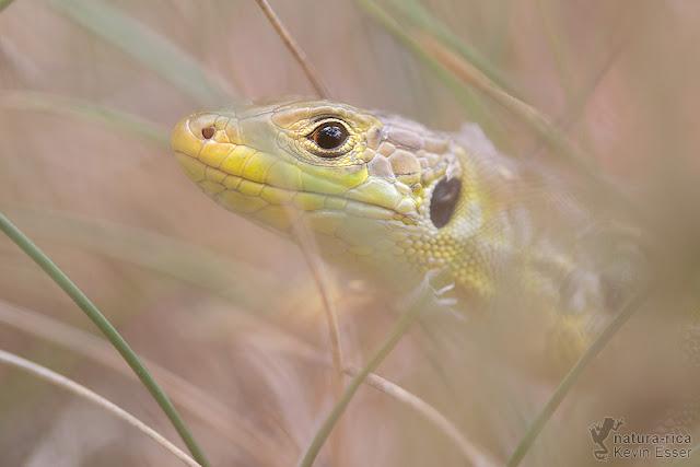 Lacerta bilineata - Western Green Lizard, juvenile