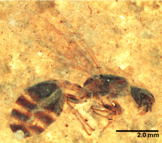 New ant species emerge from 46-million-year-old rock in Montana