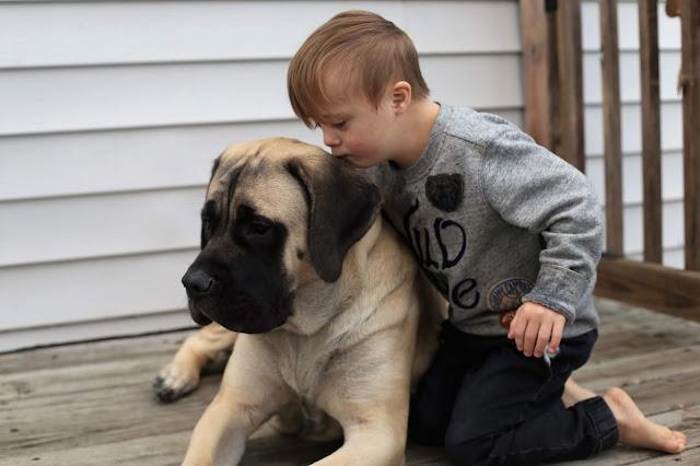 English Mastiff Puppy