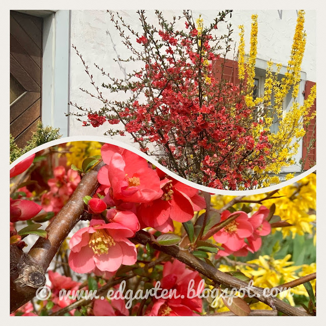 Blühende Sträucher im Frühling