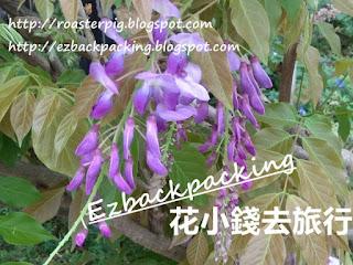 香港紫藤花