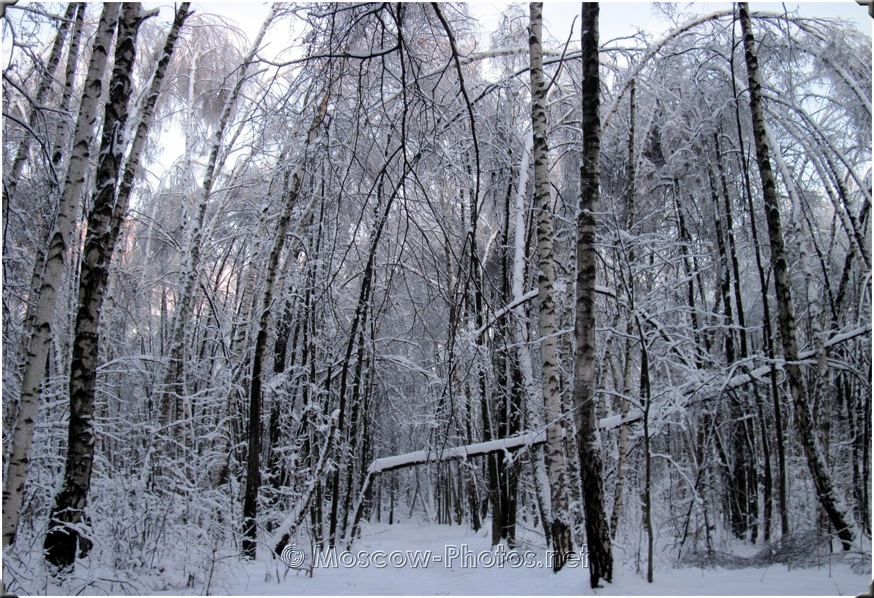 Moscow Ice Winter Forest