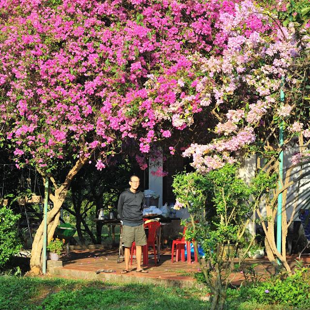Già làng và cây hoa giấy cổ thụ