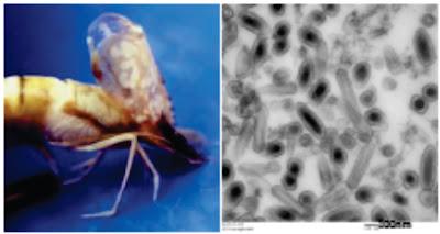 Penyakit Virus Pada Ikan : White Spot Syndrome Virus (WSSV)