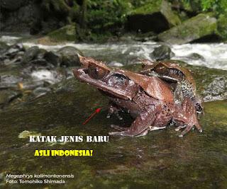 Katak Tanduk Dari Kalimantan