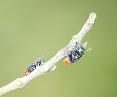 Oriental Latrine Fly (Chrysomya megacephala)