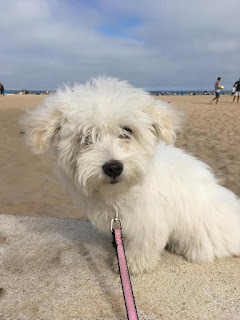 maltese dog in the beach
