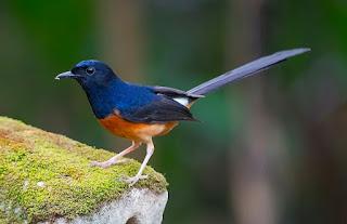Jenis Burung Murai Batu Terbaik