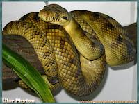 gambar ular phyton