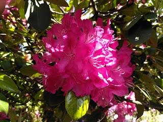Dark Pink Rhododendren photo by Jim Fernbank