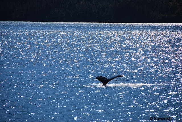 Orca on Prince William Sound