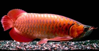 Ikan Arwana Blood Red
