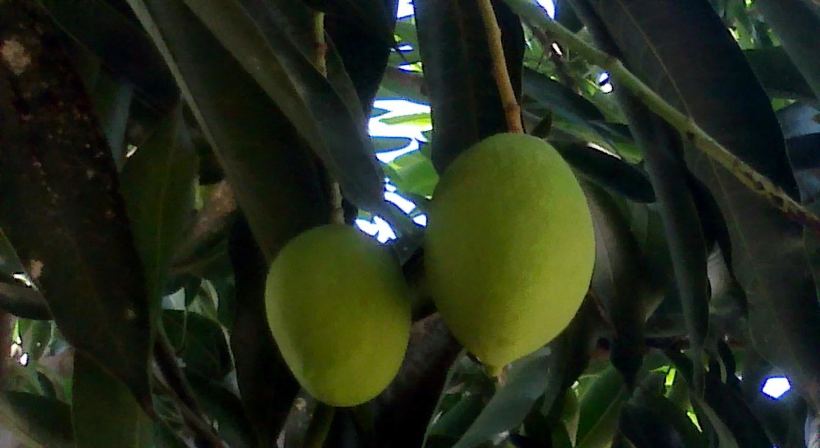 16 Manfaat Buah Mangga bagi kesehatan (Mangifera indica)