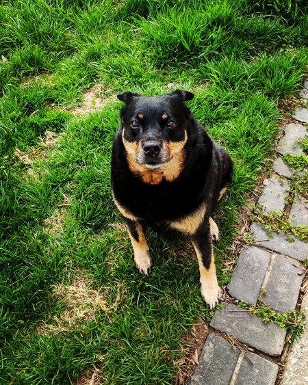 image of Zelda the Black and Tan Mutt sitting in the backyard, looking up at me