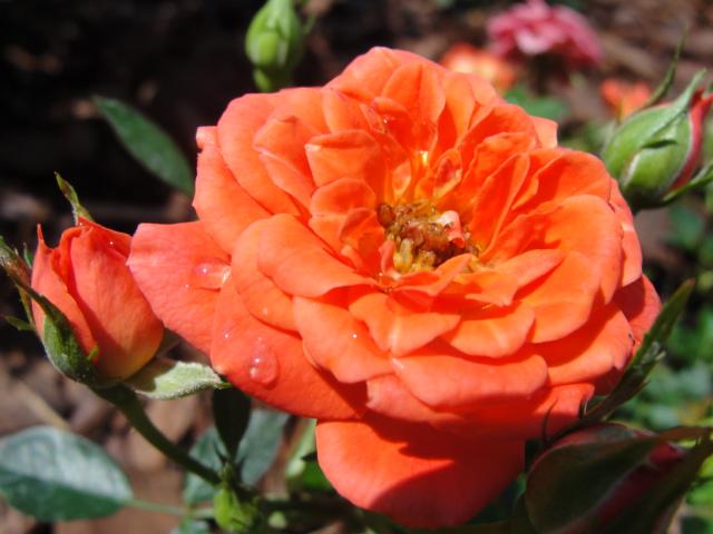 Central Florida Gardener Fragrance In The Garden Part 2 Roses