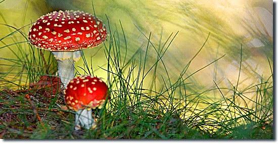 Cogumelo do Mario Bros - Amanita muscária