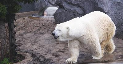 Polar Bear Japan