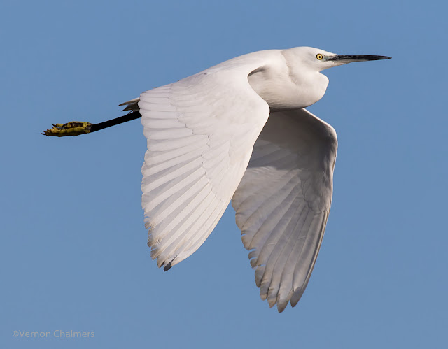 Little Egret in Flight: Canon EOS 7D Mark II @ 400mm Manual Mode: f/6.3 / ISO 200 / 1/2000s - Woodbridge Island, Cape Town