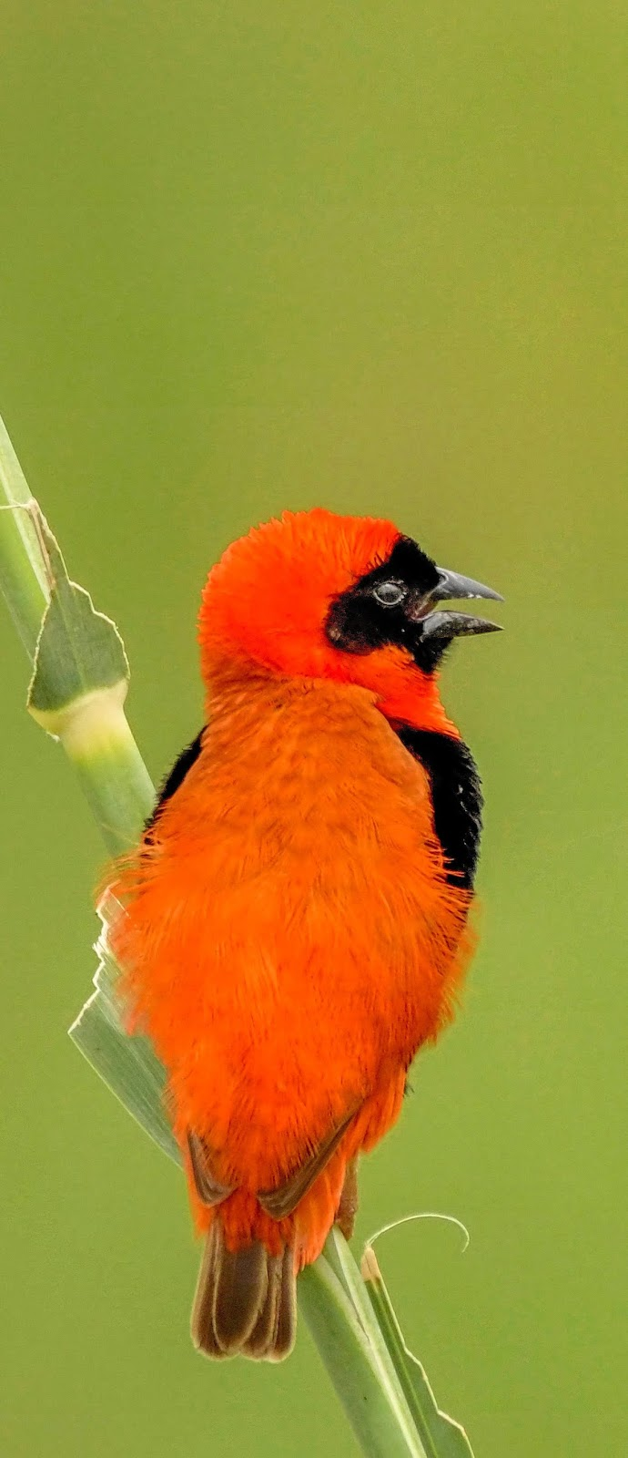Photo of a southern red bishop.