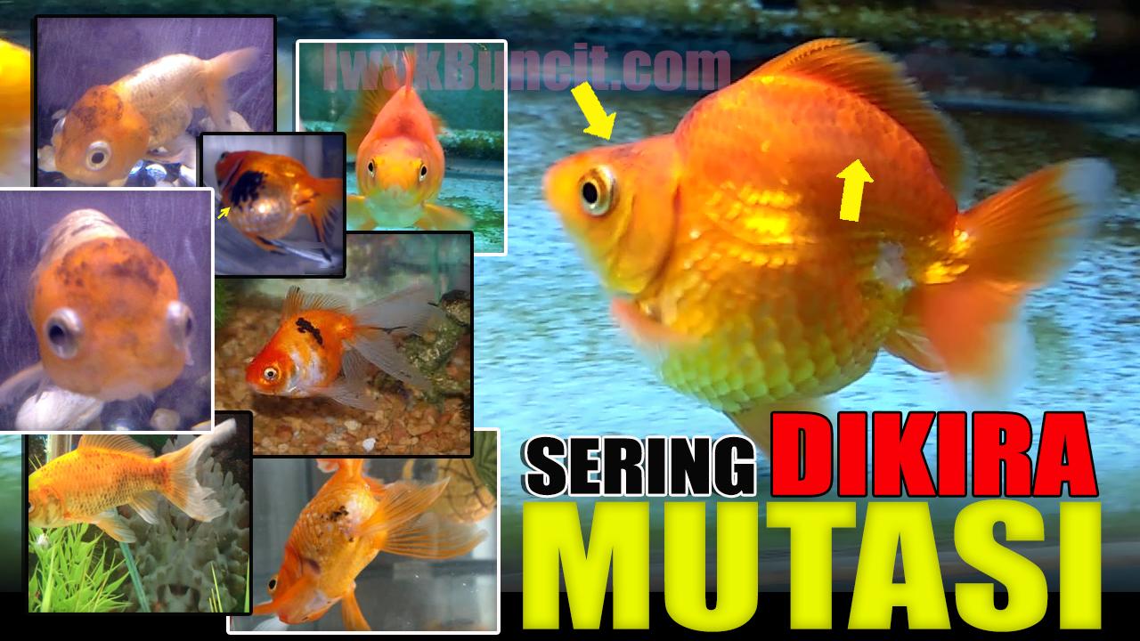 Black Spot Sama Bahayanya Dengan White Spot Sering Dikira Mutasi Warna Ikan Mas Koki