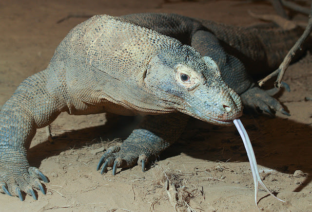First sequence of the Komodo dragon genome reveals clues about its evolution