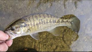 Fish Spotlight, James Reese, Guadzilla, Fly Fishing for Guadalupe Bass, Guadalupe Bass Fly Fishing, Guadalupe Bass on the Fly, Texas Freshwater Fly Fishing, TFFF, Fly Fishing Texas, Texas Fly Fishing, Pat Kellner