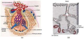 Struktur dan Fungsi Jaringan Epitel Berbentuk Pipih, Kubus, Silindris Selapis dan Berlapis Banyak Pada Hewan