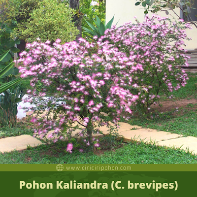 Ciri Ciri Pohon Kaliandra
