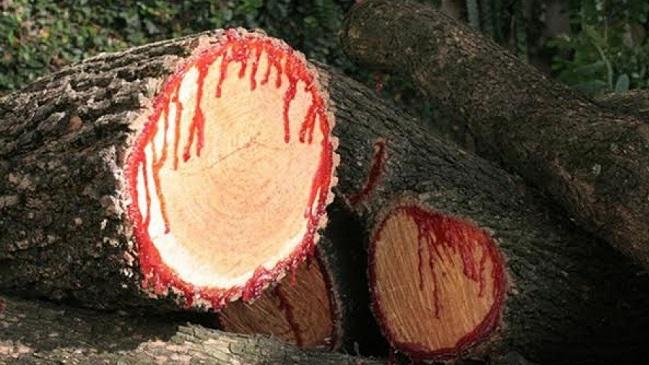 Árvore Sangue de Dragão/Reprodução