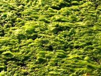 alga di lago