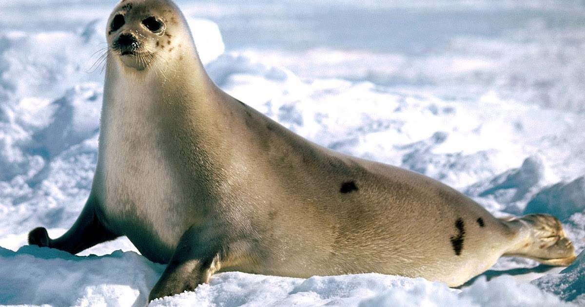 HD Seals Wallpapers and Photos  HD Animals Wallpapers