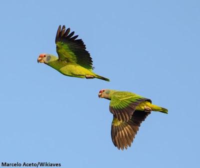 Papagaio de cara roxa, wikiaves, aves do brasil, extinção, papagaios, observação de aves, biologia, birds, meio ambiente, natureza, nature, passarinho
