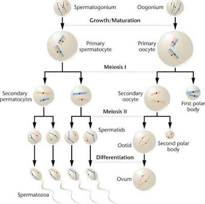 Perhatikan diagram spermatogenesis berikut ini! Tahap D memiliki ...