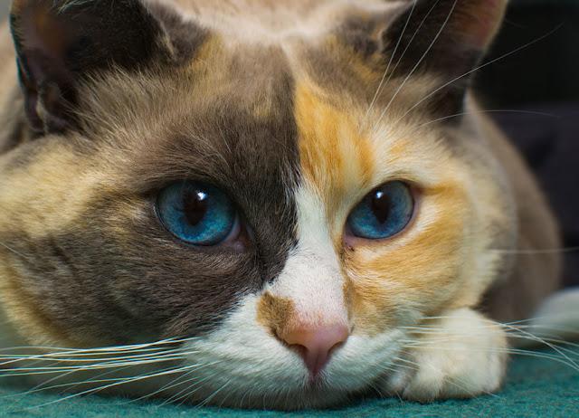 القطط غير قادرة على رؤية وتمييز اللون الأحمر