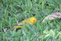 Saffron Finch foraging – Greenwell Coffee Farms – Kona, Big Island, HI – © Denise Motard